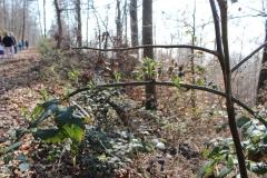 Wo der Boden durch Holzlagerung verdichtet war, wuchern die Brombeeren.